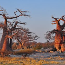 madagascar-incontournables-lesbaobabs